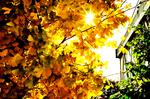 銀杏(いちょう)の木