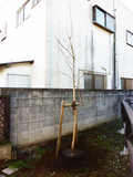 柿の木が完成